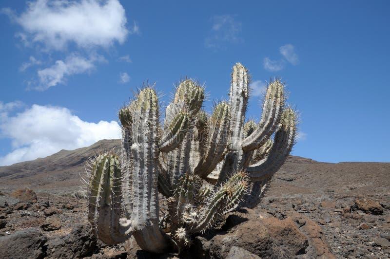 île jaune canari de fuerteventura de cactus photos stock