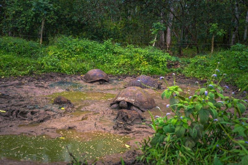 Îles de Galapagos - 22 juillet 2017 : Tortues géantes en Santa Cruz photographie stock