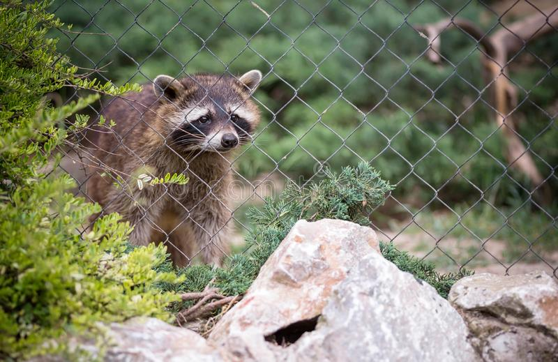 Ρακούν στο ζωολογικό κήπο στοκ φωτογραφίες