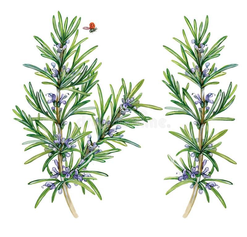 Ρεαλιστική απεικόνιση watercolor του δεντρολιβάνου Rosmarinus officinale ελεύθερη απεικόνιση δικαιώματος