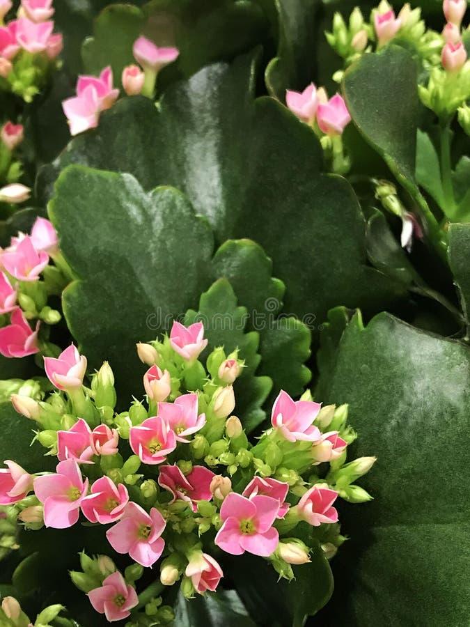 Ρόδινα λουλούδια kalanchoe στοκ φωτογραφία με δικαίωμα ελεύθερης χρήσης
