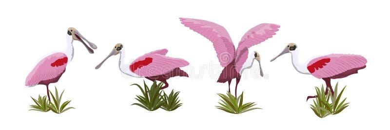 Ρόδινη συλλογή πουλιών πλαταλεών Ζώα της Φλώριδας, της Χιλής και της Αργεντινής απεικόνιση αποθεμάτων