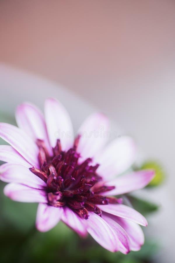 Ρόδινο λουλούδι κινηματογραφήσεων σε πρώτο πλάνο με το ουδέτερο θολωμένο υπόβαθρο στοκ εικόνα