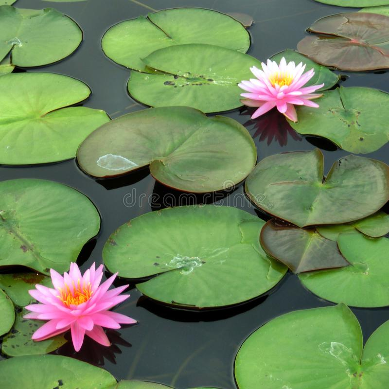 Ρόδινο λουλούδι λωτού στοκ εικόνα με δικαίωμα ελεύθερης χρήσης