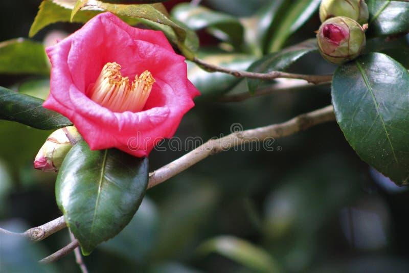Ρόδινο Gardenia και ο οφθαλμός στοκ εικόνα