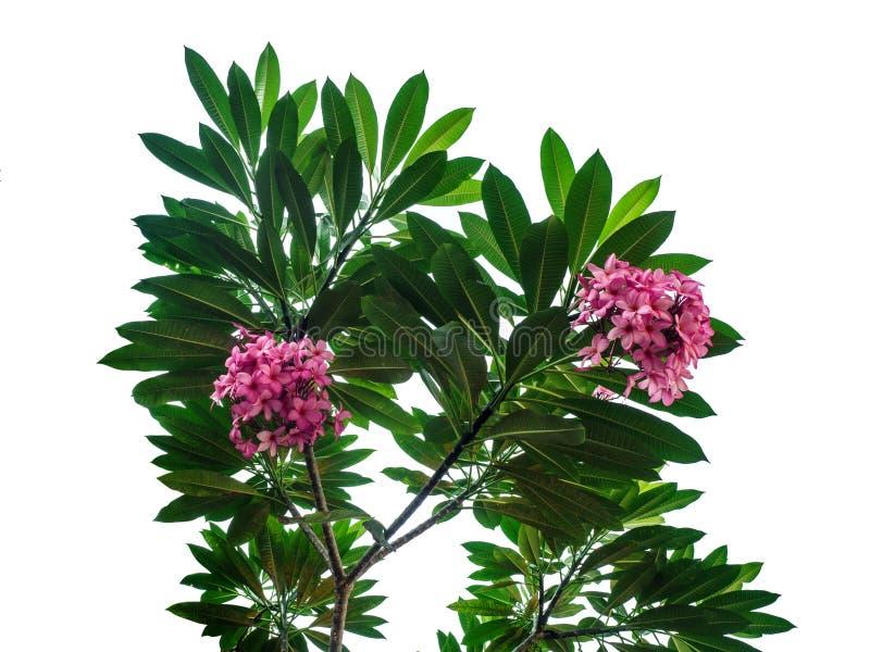 Ρόδινο plumeria που ανθίζει στο δέντρο Frangipani με τα φύλλα που απομονώνονται στο άσπρο υπόβαθρο στοκ εικόνα με δικαίωμα ελεύθερης χρήσης