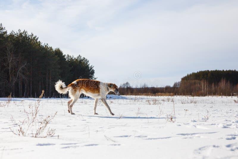 Ρωσικά τρεξίματα σκυλιών Borzoi μέσω ενός χιονώδους τομέα το χειμώνα στοκ εικόνα με δικαίωμα ελεύθερης χρήσης