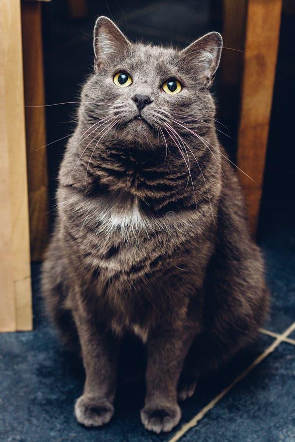 Ρωσικές μπλε συνεδρίαση και αναμονή γατών στοκ εικόνες