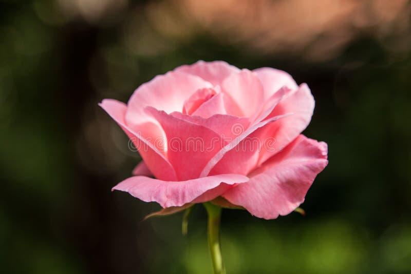 όμορφα ρόδινα τριαντάφυλλ&alp στοκ εικόνα με δικαίωμα ελεύθερης χρήσης