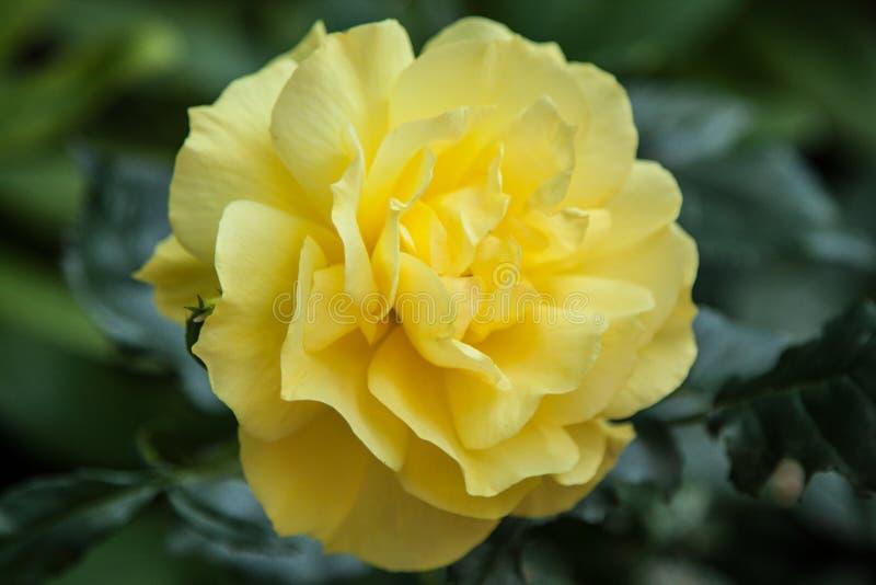 όμορφα τριαντάφυλλα κίτρι&nu στοκ φωτογραφία με δικαίωμα ελεύθερης χρήσης