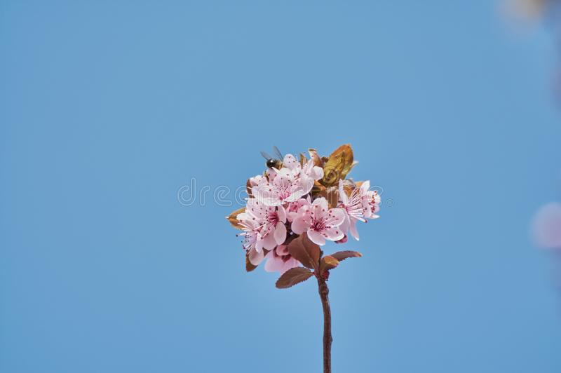 Όμορφη αμυγδαλιά με τα ρόδινα λουλούδια το μήνα Φεβρουάριο στοκ εικόνες