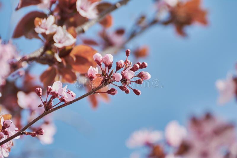 Όμορφη αμυγδαλιά με τα ρόδινα λουλούδια το μήνα Φεβρουάριο στοκ φωτογραφίες με δικαίωμα ελεύθερης χρήσης