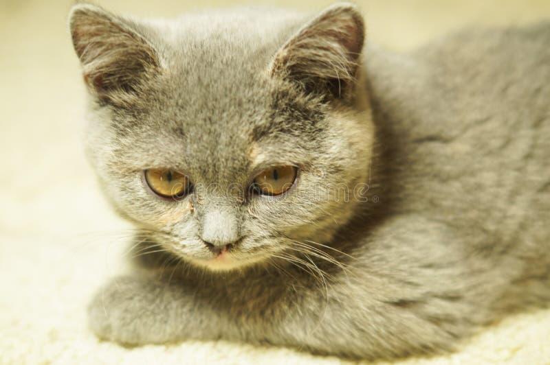 Όμορφη γκρίζα σκωτσέζικη γάτα με τα κίτρινα μάτια που βρίσκονται στον τάπητα στοκ φωτογραφίες