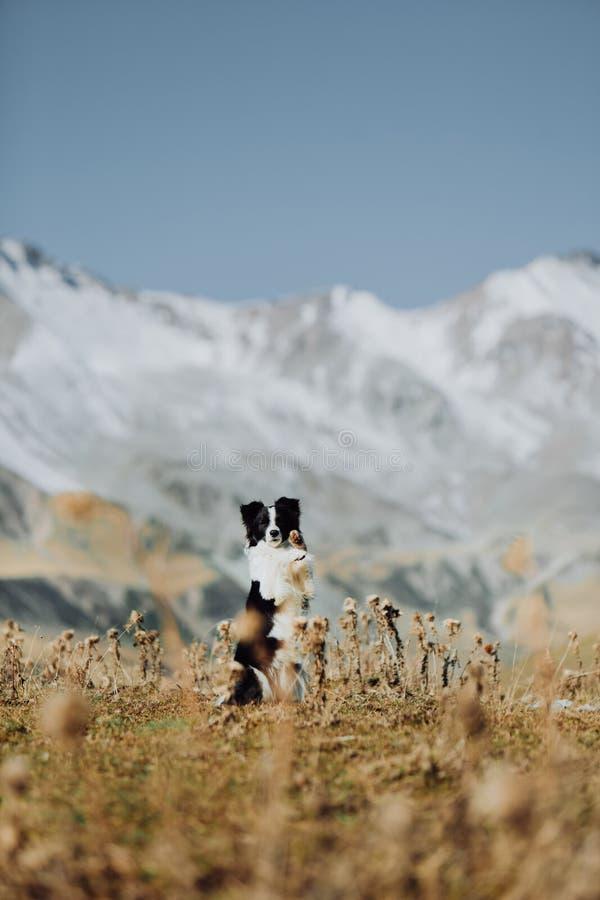 Όμορφη γραπτή παραμονή κόλλεϊ συνόρων σκυλιών στο πίσω πόδι στον τομέα στα άσπρα βουνά χιονιού υποβάθρου Διάστημα για στοκ φωτογραφίες με δικαίωμα ελεύθερης χρήσης