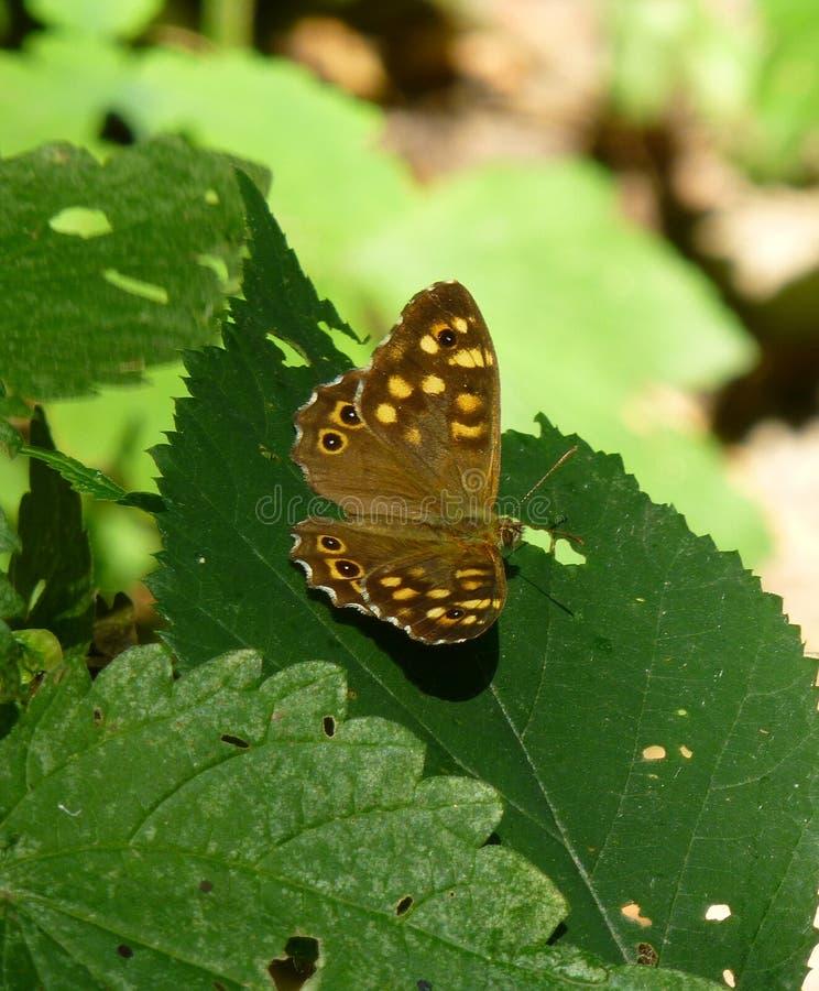 Όμορφη καφετιά πεταλούδα με τα κίτρινα σημεία που κάθονται στο φύλλο ενός πράσινου φυτού στοκ φωτογραφίες