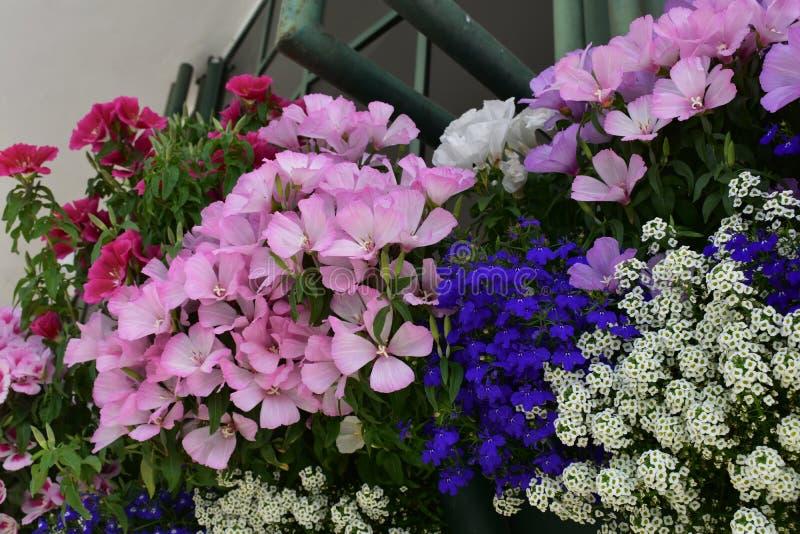 Όμορφη ρύθμιση των λουλουδιών Dianthus στοκ εικόνα