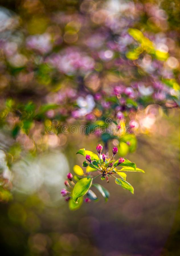 Όμορφη φύση bokeh του ανθίζοντας μήλου στοκ φωτογραφία με δικαίωμα ελεύθερης χρήσης