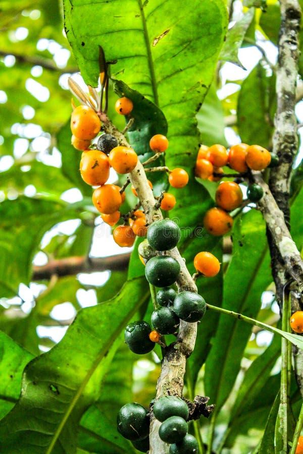 Όμορφη φωτογραφία λεπτομέρειας των πράσινων και κίτρινων λεμονιών στοκ εικόνες
