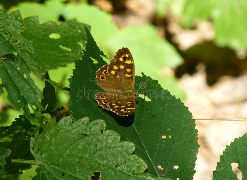 Όμορφη speckled ξύλινη συνεδρίαση πεταλούδων στο φύλλο ενός πράσινου φυτού στοκ εικόνα με δικαίωμα ελεύθερης χρήσης