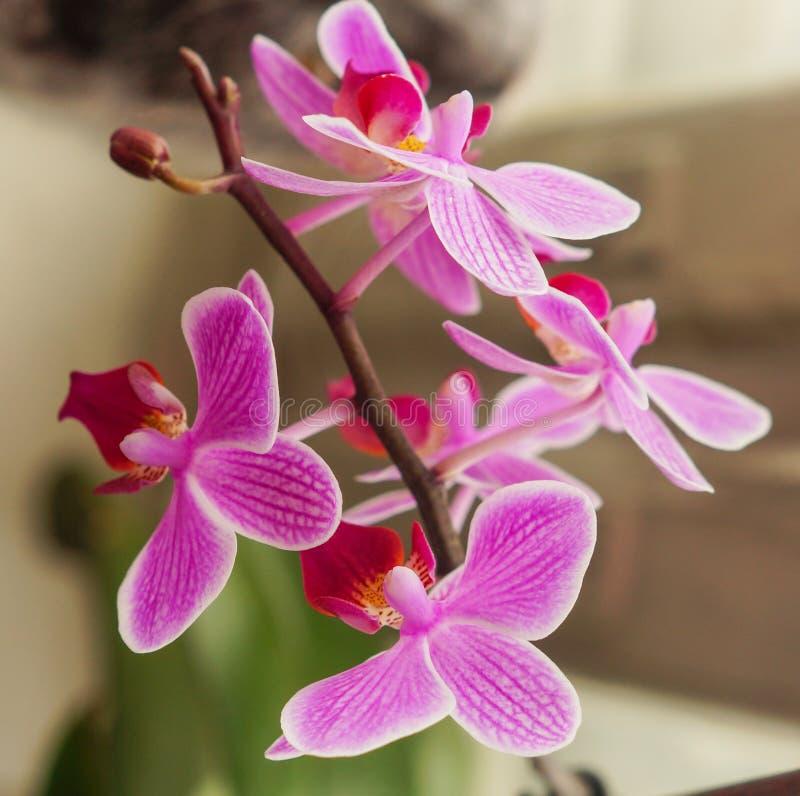 Όμορφο ιώδες λουλούδι ορχιδεών στο κάθετο υπόβαθρο windowsill στοκ φωτογραφία