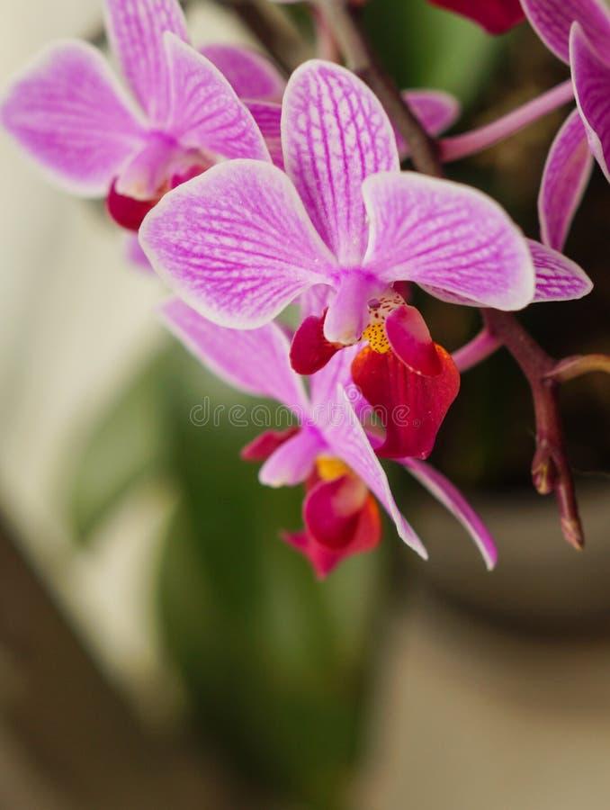 Όμορφο ιώδες λουλούδι ορχιδεών στο κάθετο υπόβαθρο windowsill στοκ εικόνες