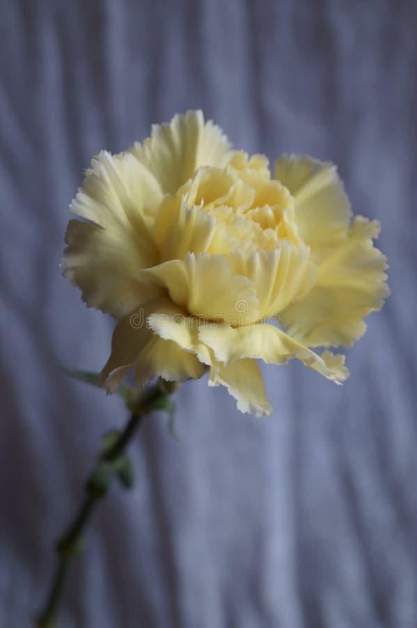 Όμορφο κίτρινο γαρίφαλο στοκ φωτογραφίες
