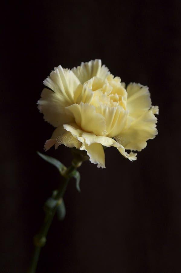 Όμορφο κίτρινο γαρίφαλο στοκ φωτογραφία
