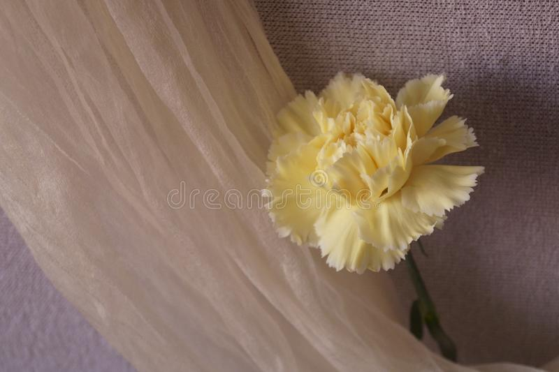 Όμορφο κίτρινο γαρίφαλο στοκ εικόνα