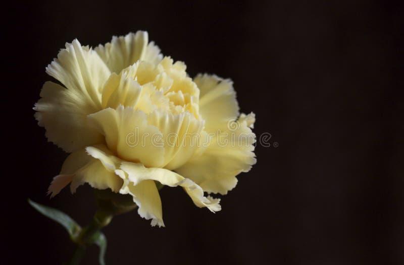 Όμορφο κίτρινο γαρίφαλο στοκ φωτογραφίες με δικαίωμα ελεύθερης χρήσης