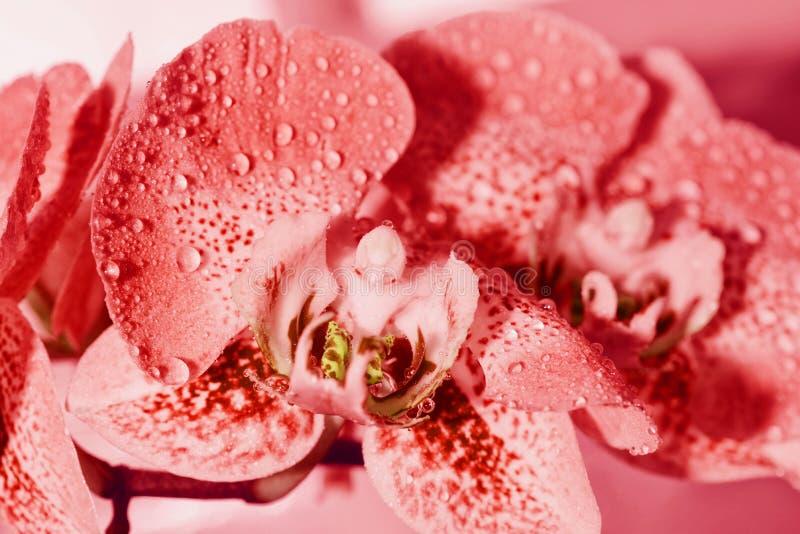 Όμορφο λουλούδι ορχιδεών, υπόβαθρο Οι ορχιδέες κλείνουν επάνω Ζωηρόχρωμη μακρο εικόνα μιας ορχιδέας, το τροπικό λουλούδι στοκ φωτογραφία με δικαίωμα ελεύθερης χρήσης