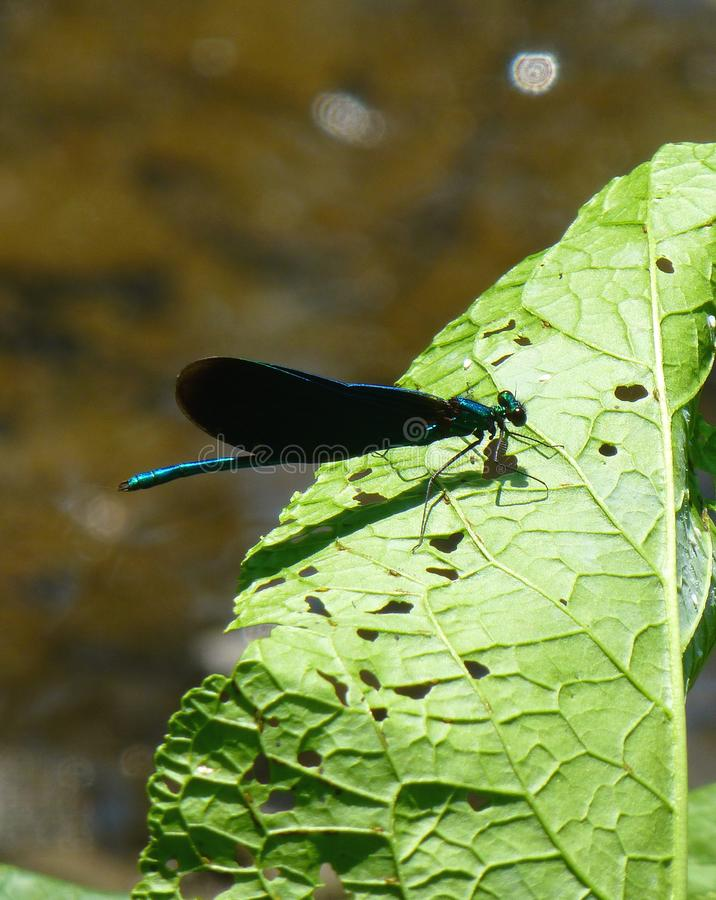 Όμορφο μπλε damselfly με τα μαύρα φτερά σε ένα πράσινο φύλλο στοκ εικόνες