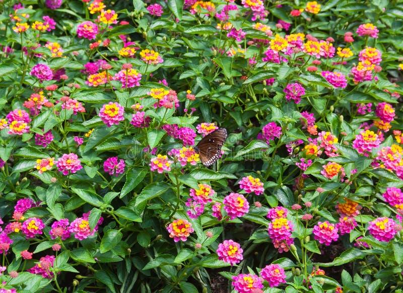 Όμορφο υπόβαθρο με τα ζωηρόχρωμα λουλούδια κήπων στοκ εικόνα
