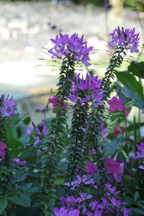 Όμορφο πορφυρό λουλούδι Lobelia Inflata στοκ εικόνες