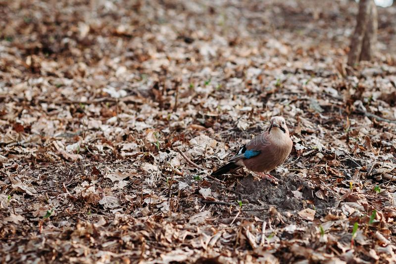 Όμορφο πουλί Jay το φθινόπωρο στο υπόβαθρο φυλλώματος πτώσης στοκ φωτογραφία με δικαίωμα ελεύθερης χρήσης