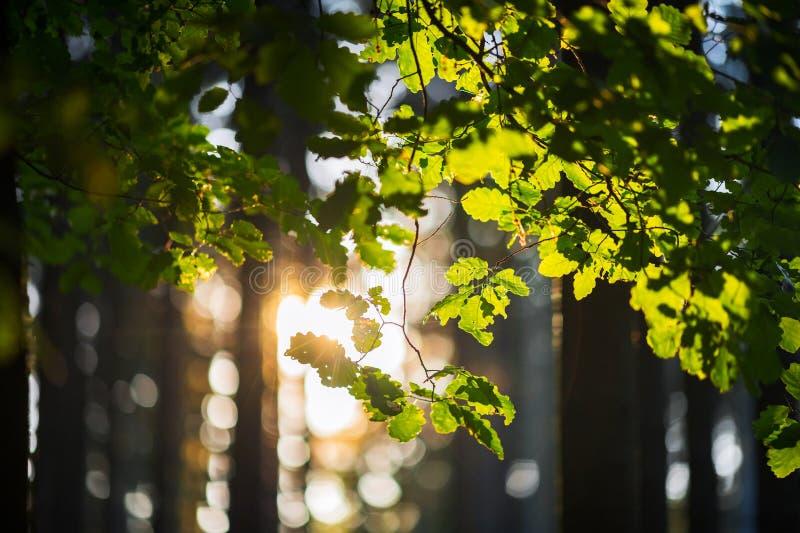 Όμορφο πρωί στις δασικές ακτίνες ήλιων που λάμπουν μέσω του κλάδου ενός δρύινου δέντρου στοκ εικόνες με δικαίωμα ελεύθερης χρήσης