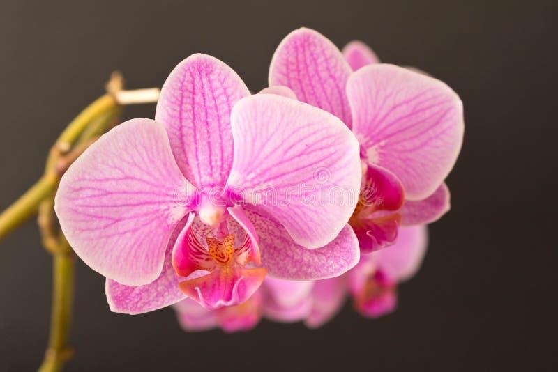 όμορφο orchid λουλουδιών κλείστε επάνω Οφθαλμός ορχιδεών στοκ εικόνες με δικαίωμα ελεύθερης χρήσης