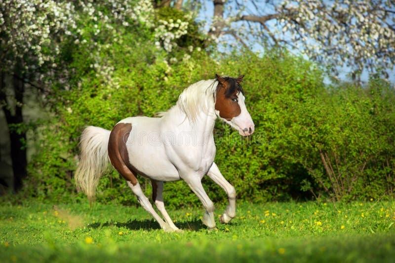 Όμορφο pinto άλογο στοκ φωτογραφίες με δικαίωμα ελεύθερης χρήσης
