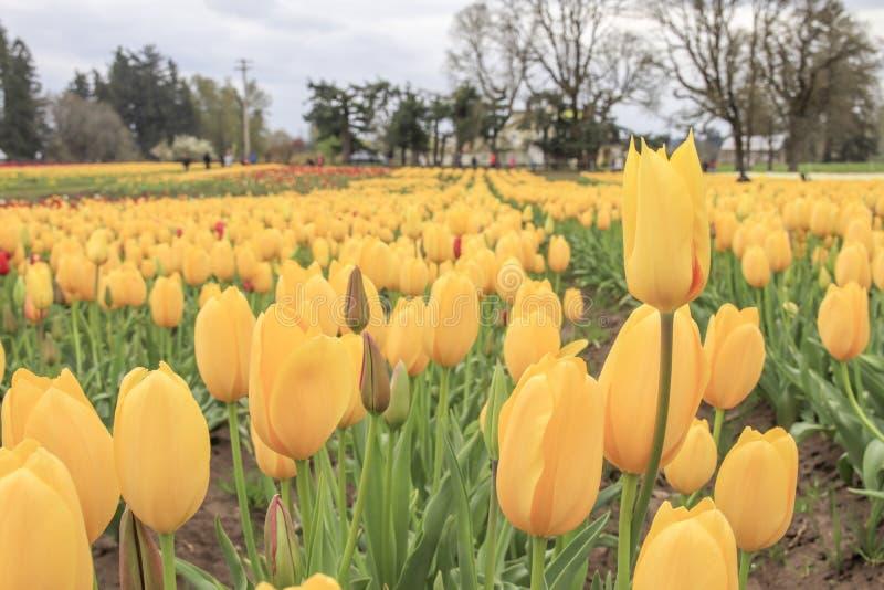 σειρά των κίτρινων τουλιπών που αυξάνεται σε ένα αγρόκτημα τουλιπών στοκ εικόνα με δικαίωμα ελεύθερης χρήσης