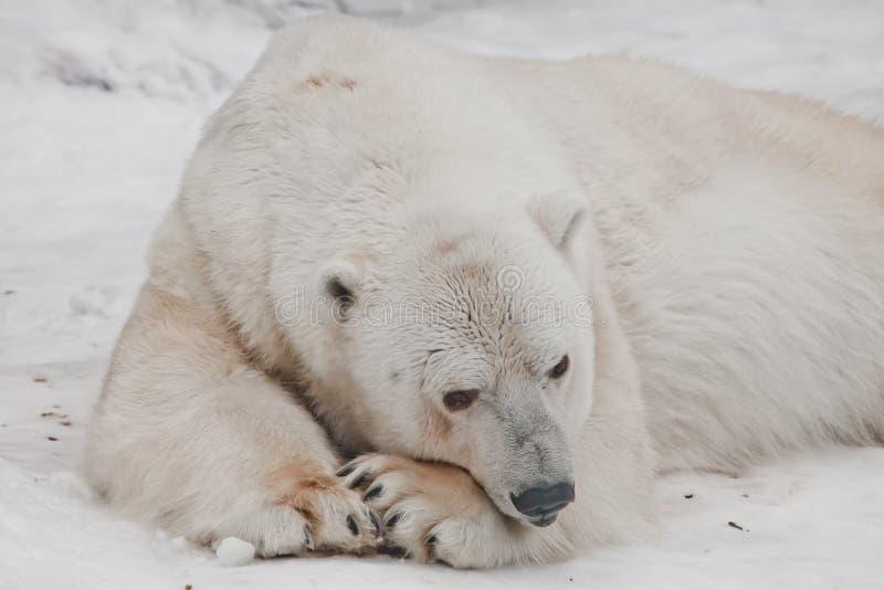 Σκέφτηκα μελαγχολικά να βάλω τη μύτη μου στα πόδια μου Η ισχυρή πολική αρκούδα βρίσκεται στο χιόνι, κινηματογράφηση σε πρώτο πλάν στοκ εικόνα