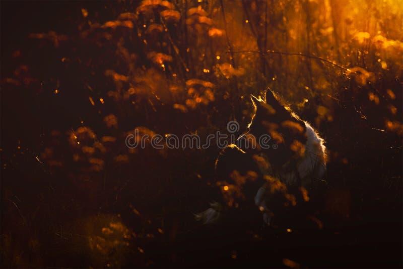 Σκιαγραφία της συνεδρίασης σκυλιών στη χλόη Πορτρέτο του κόλλεϊ συνόρων σε Backlight στοκ φωτογραφίες
