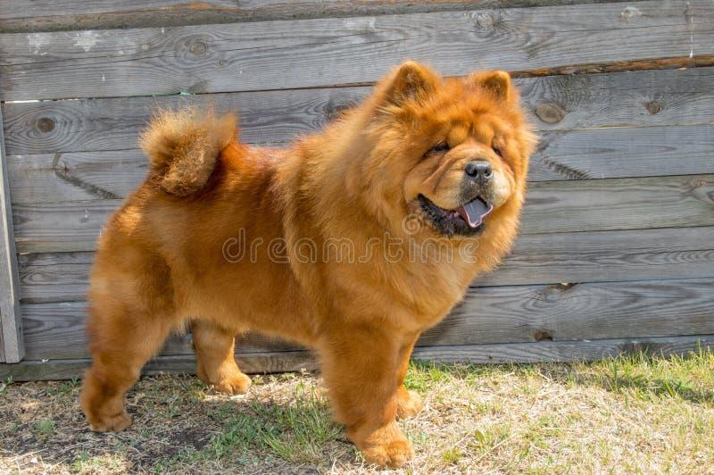 Σκυλί, κίτρινο chow-chow, στο ράφι στοκ εικόνα με δικαίωμα ελεύθερης χρήσης