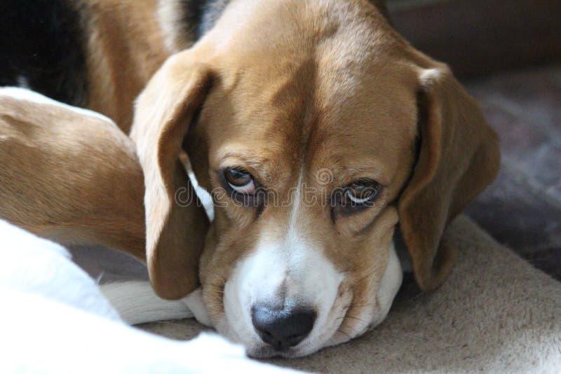 Σκυλί λαγωνικών με όμορφος Eyed στοκ εικόνα