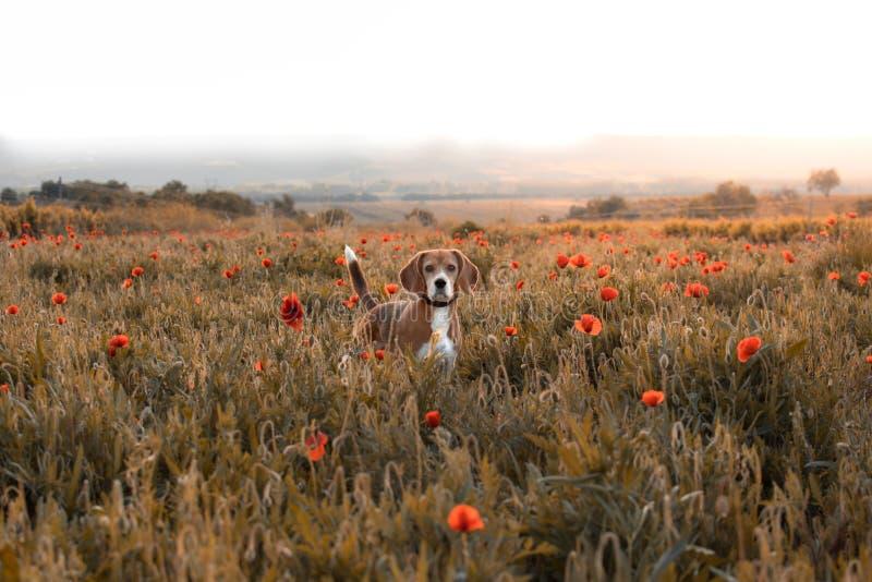 Σκυλί λαγωνικών σε ένα λιβάδι των wildflowers και των παπαρουνών στοκ φωτογραφίες