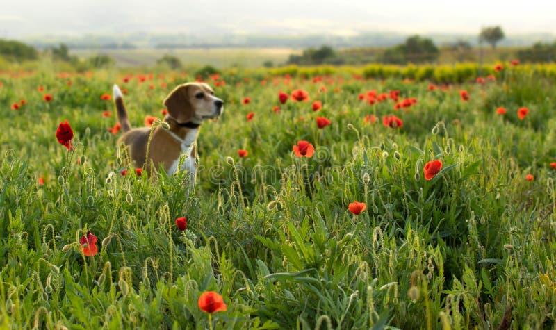 Σκυλί λαγωνικών Unfocused σε ένα λιβάδι των άγριων λουλουδιών και των παπαρουνών στοκ εικόνα