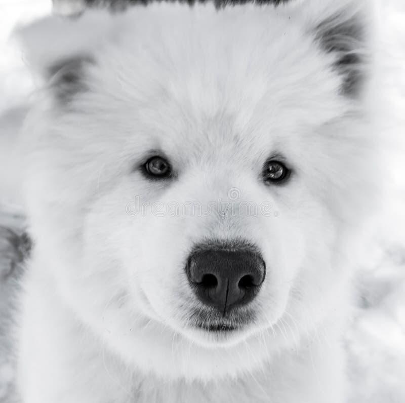 Σκυλί όπως μια πολική αρκούδα στοκ φωτογραφία με δικαίωμα ελεύθερης χρήσης