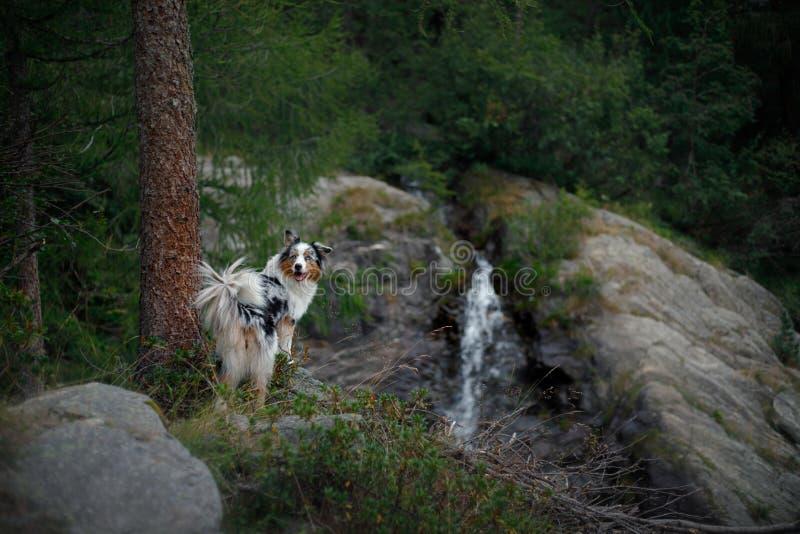 Σκυλί στον καταρράκτη Pet στη φύση αυστραλιανός ποιμένας στοκ εικόνες με δικαίωμα ελεύθερης χρήσης