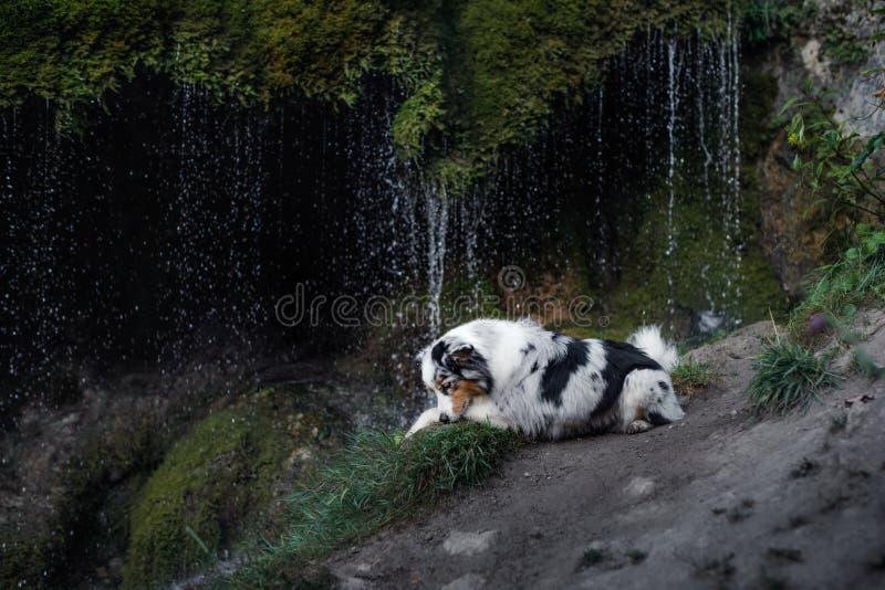 Σκυλί στον καταρράκτη Pet στη φύση αυστραλιανός ποιμένας στοκ φωτογραφίες με δικαίωμα ελεύθερης χρήσης