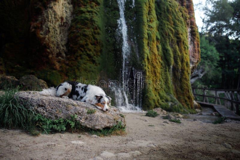 Σκυλί στον καταρράκτη Pet στη φύση αυστραλιανός ποιμένας στοκ φωτογραφία με δικαίωμα ελεύθερης χρήσης