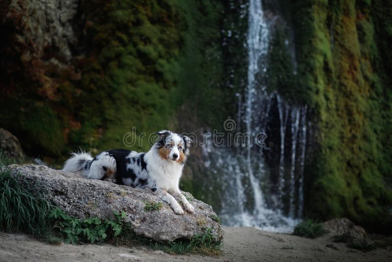 Σκυλί στον καταρράκτη Pet στη φύση αυστραλιανός ποιμένας στοκ φωτογραφίες