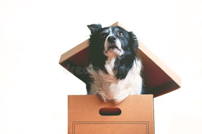 Σκυλί στο κιβώτιο εγγράφου Το θέμα inappropriateness να δώσει τα ζωντανά ζώα Κόλλεϊ συνόρων στοκ εικόνα με δικαίωμα ελεύθερης χρήσης